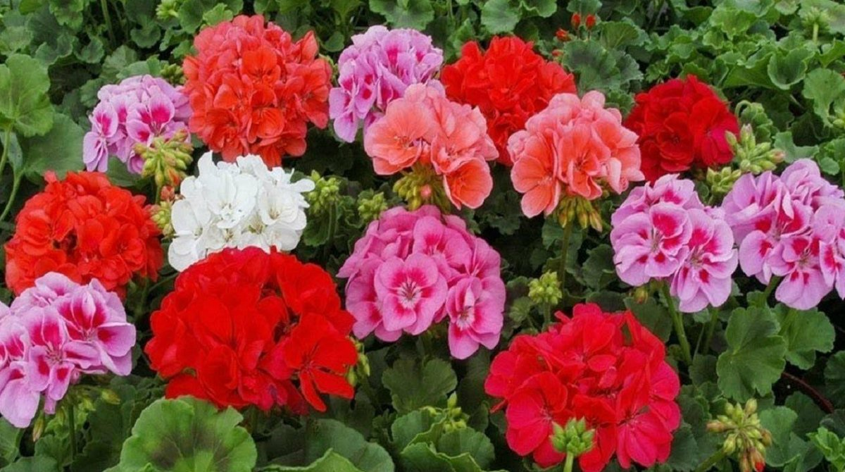 Всего одна капля йода — благодарная герань цветет круглый год!