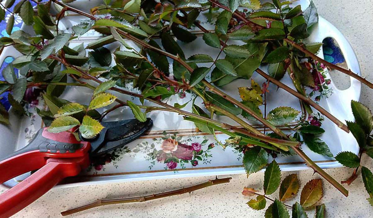 Размножаю розы в холодильнике: до 30 черенков в 1 бутылке