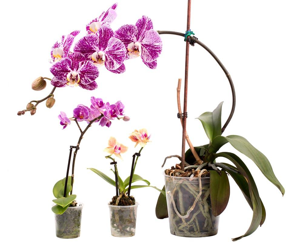Толстые и длинные цветоносы орхидей по методу Георгия Горячевского