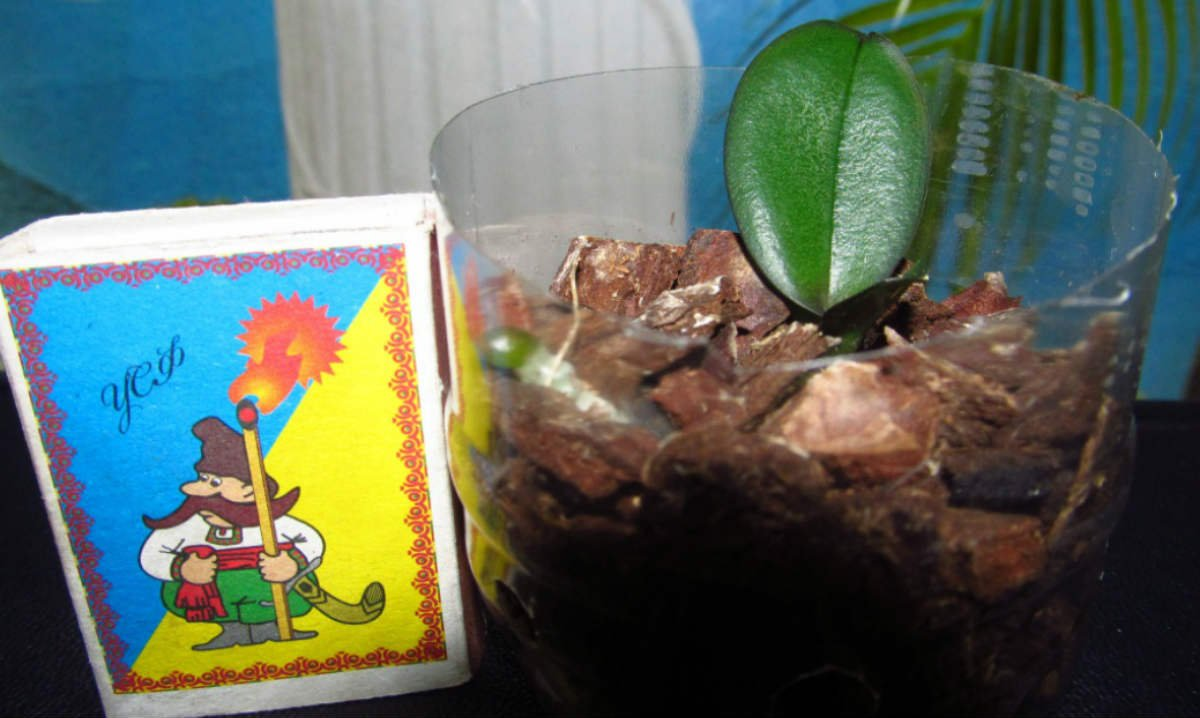 Чтобы вернуть к жизни, цветочница помещает орхидеи в бутылки