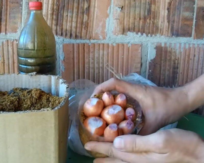 Зеленый лук к столу: самые быстрые способы выращивания свежей домашней зелени