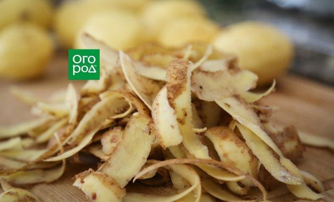 Зачем класть картошку и очистки под смородину