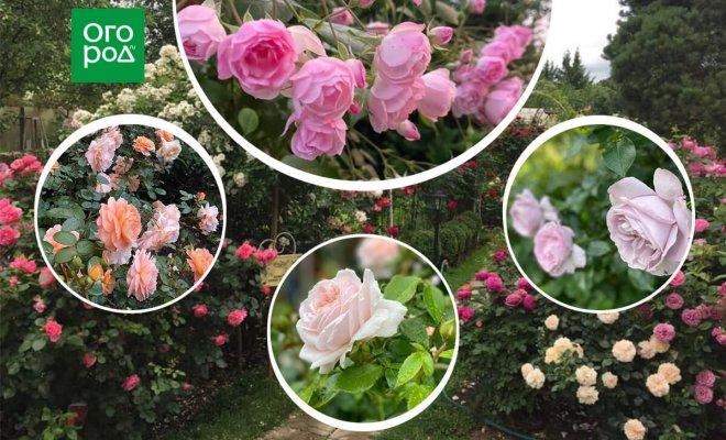 Почему гибнут молодые розы: самые частые причины неудачного старта