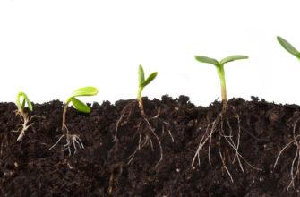 Самый естественный почвоулучшатель, или как правильно использовать сидераты