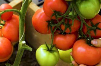 Суперурожайный томат 'Лось' — сибирский гибрид для теплицы