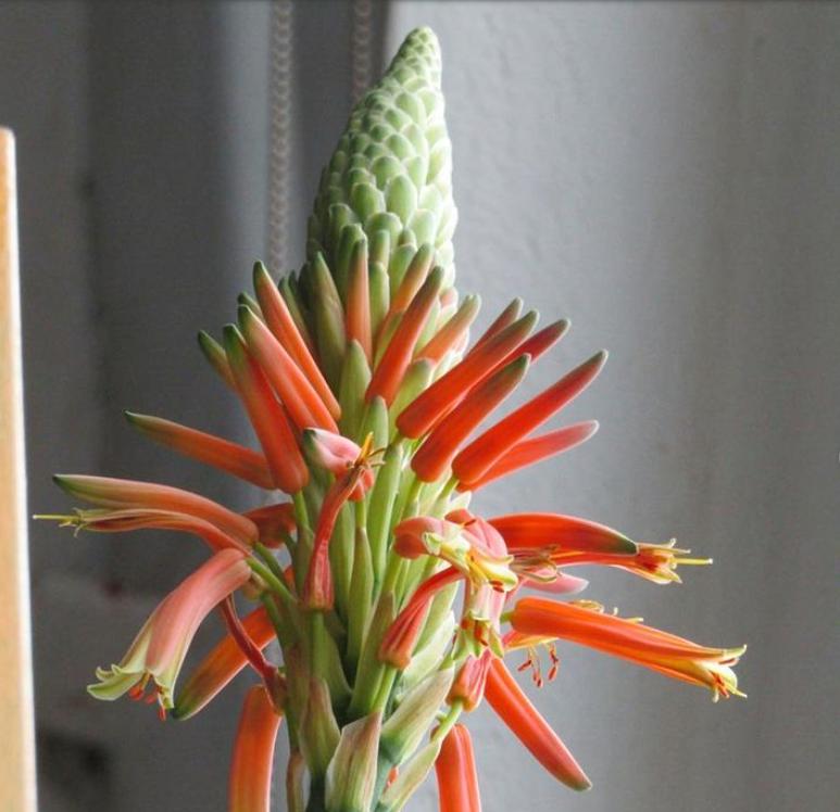 Как вырастить дома мощный алоэ, что будет упираться верхушкой в небо и цвести