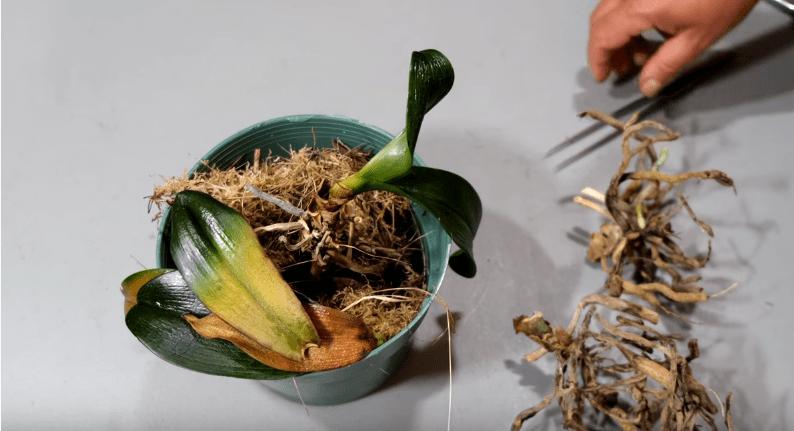 Не выбрасывайте пеньки орхидей! С них еще можно получить потомство.