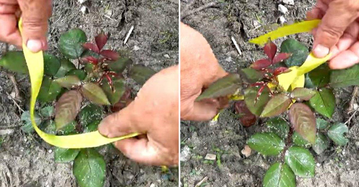 Зачем обвязывать розы непременно желтой лентой
