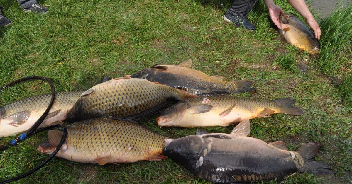 Что будет, если закопать рыбьи головы в огороде