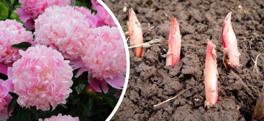 Чем подкормить пионы ранней весной, чтобы зацвели большими шарами