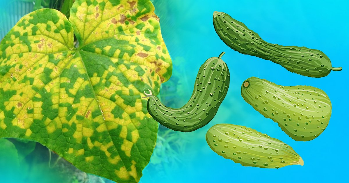 Почему желтеют листья огурцов. 4 народных средства, которые спасут урожай!