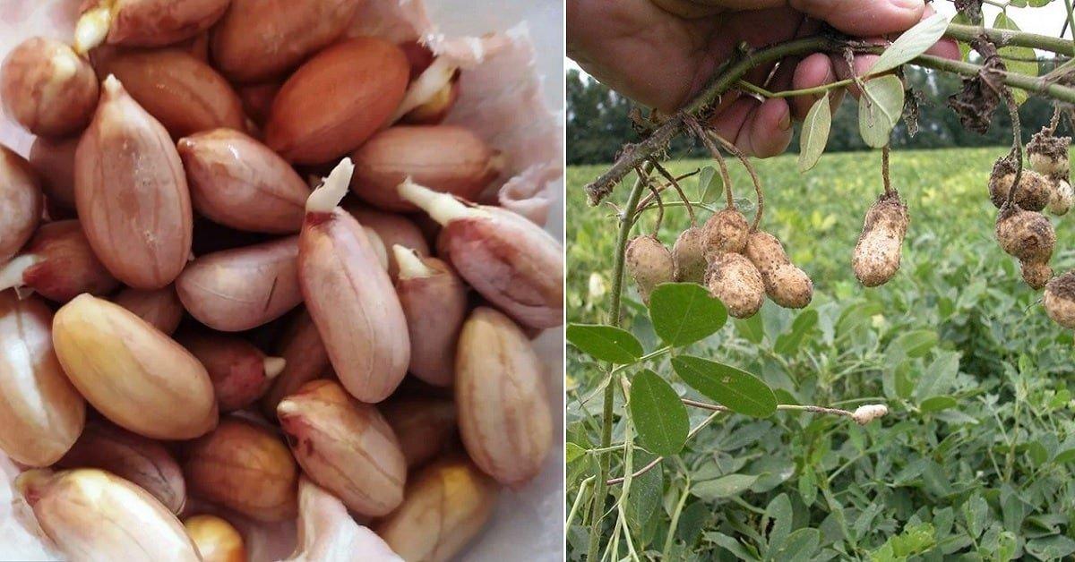 Как вырастить крупный арахис на даче и щелкать орешки всю зиму