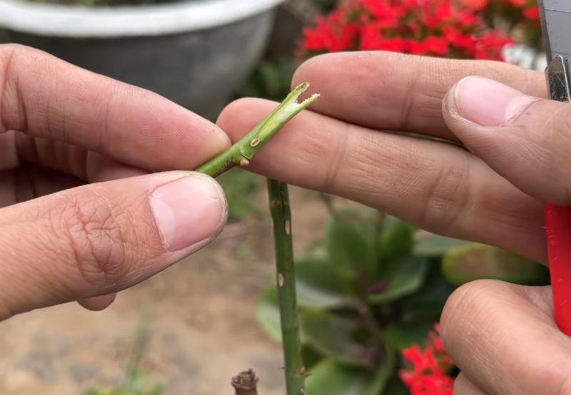 Очень простой способ прививки роз, получится даже у начинающих садоводов