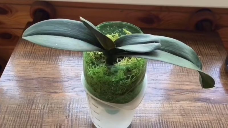 Реанимируем слабую орхидею эффективным и проверенным методом