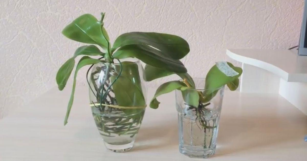 Как укоренить рандомный лист орхидеи и обзавестись новым цветком