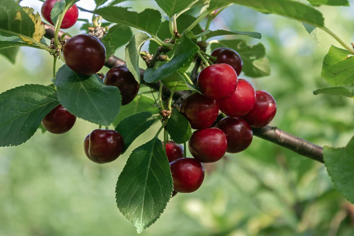 Как обрезать вишни и чем обработать их от опасных болезней