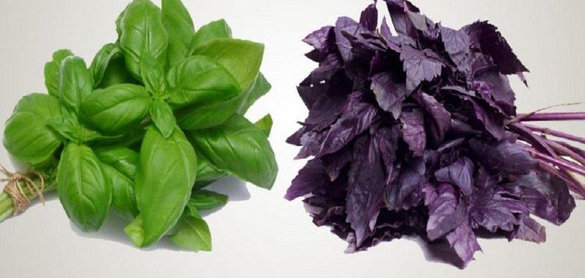 Какой базилик выбрать: зеленый или фиолетовый. Каждая хозяюшка должна знать об отличиях.