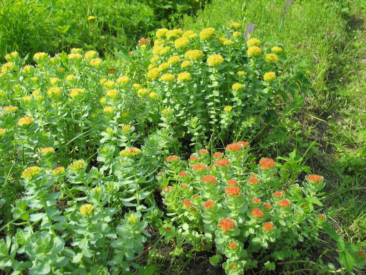Родиола, или золотой корень: как вырастить это целебное растение и чем оно полезно