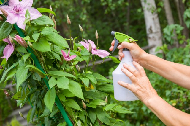 Клематисы весной: 5 шагов к восхитительному цветению