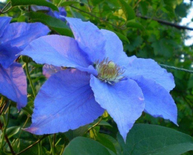 10 красивых цветов-многолетников, цветущих в мае