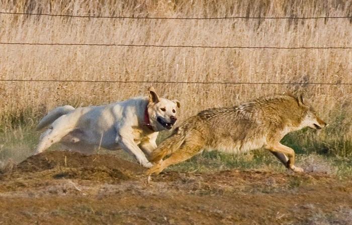 7 пород собак, которые смогут одолеть волка в схватке
