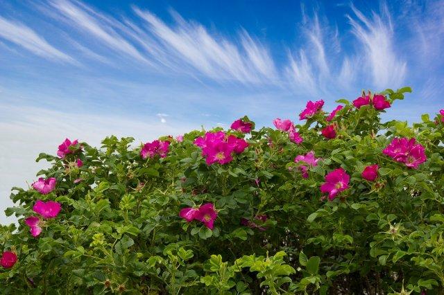 Быстрорастущая живая изгородь – выбираем правильные растения